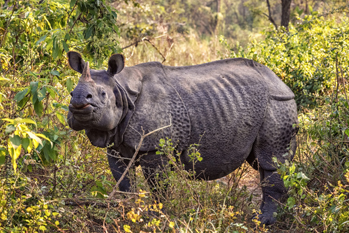 Fototapeta premium Indian Rhinoceros, Rhinoceros unicornis, Chitwan NP, Nepal