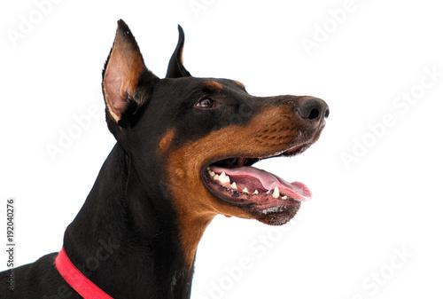 Fényképezés portrait of dobermann dog on white background