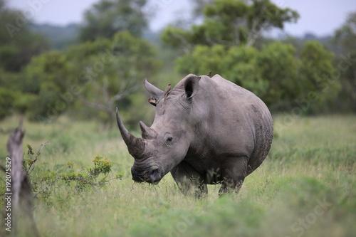 Fototapeta premium Portrait of free roaming white african rhino