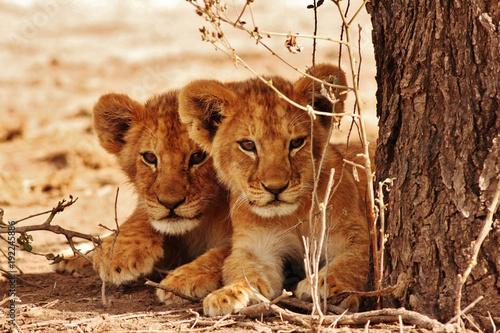 Canvas Print Lion cubs