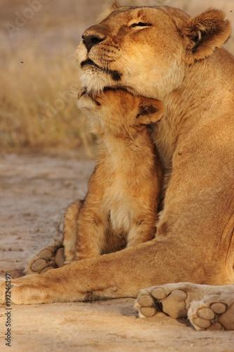 Obraz na płótnie Lion family in serengeti
