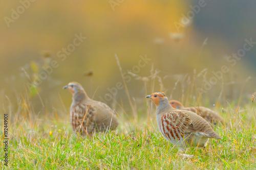 Obraz na plátně Grey Partridge (Perdix perdix)