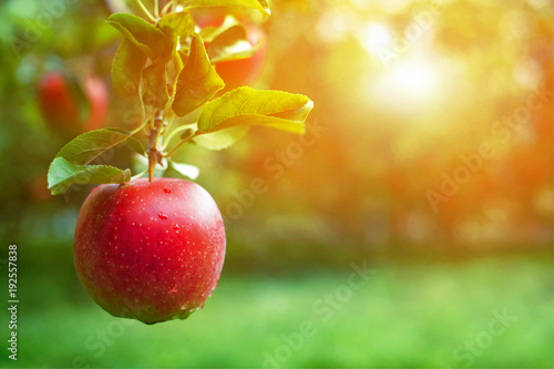 Fotografiet Ripe red apple close-up with sun rays and apple orchard in the background
