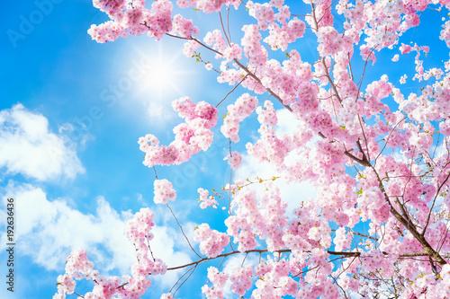 Rosa Kirschblüten im Frühling bei Sonnenschein