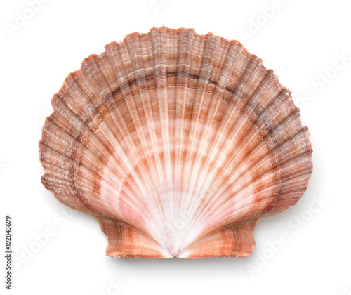 Billede på lærred Top view of scallops shell