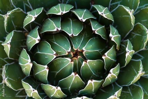 Piękne zbliżenie kwitnienia Green Victoria Agave Cactus.