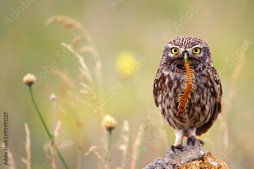 Tablou Canvas The little owl sits on a stone with a centipede in its beak.