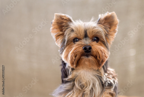 Canvas Print Portrait of Cute Yorkshire Terrier isolated on brown background