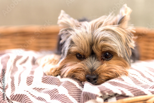 Canvas Print Tired Yorkshire Terrier laying in basket