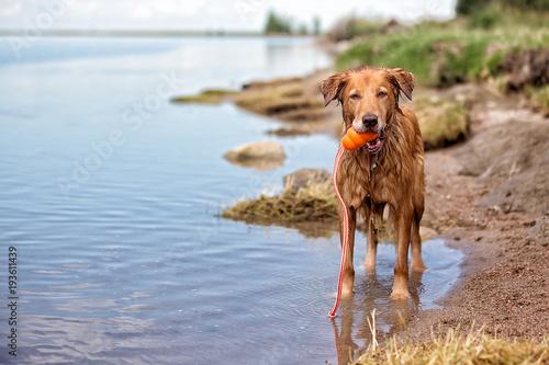 Fotografia, Obraz Dog on shore holding a toy