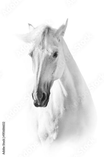 Fototapeta premium Biały koń z bliska portret na białym tle