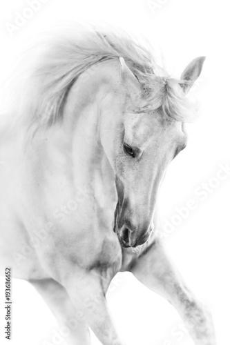 Fototapeta premium Biały koń z bliska w ruchu portret na białym tle