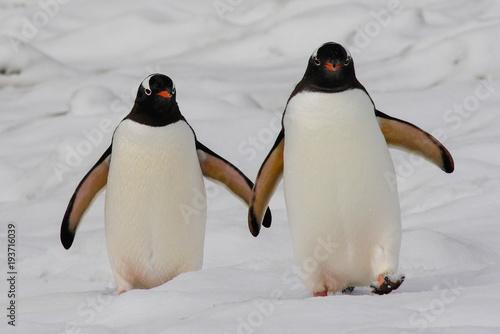 Canvas Print Gentoo penguin pair in South Shetland Islands, Antarctica