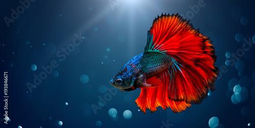 Photo Fighting fish Red blue Light background with bokeh