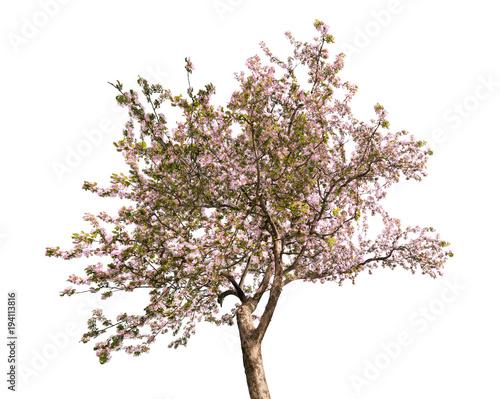blooming large pink apple-tree