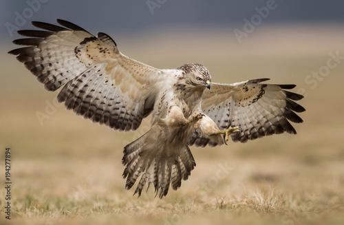 Fotografie, Obraz Common buzzard (Buteo buteo)