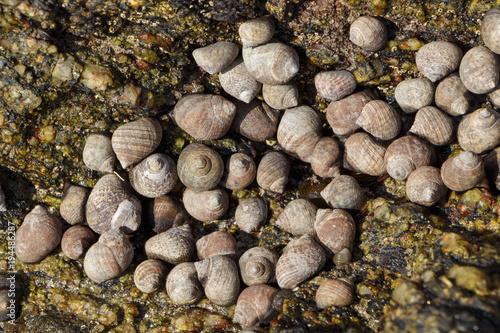 Bigorneaux dans une faille entre les rochers