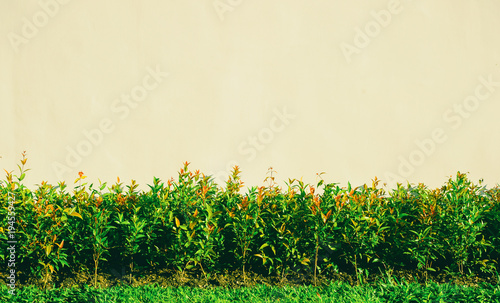 Fotografija Shrubbery, Green hedges, Shrubbery texture background, Exterior in natural style