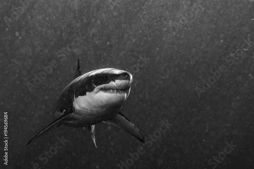 Great White shark ready to attack in b&w