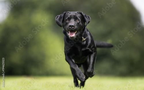 Canvas Print Black labrador retriever dog