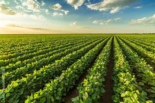 Fotografija Green ripening soybean field, agricultural landscape