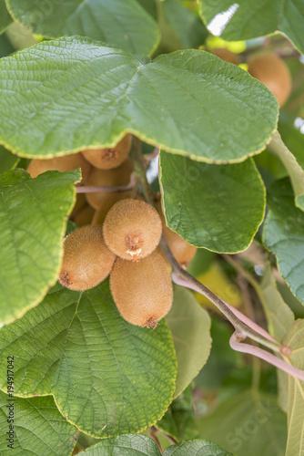 Owoce kiwi pomiędzy liśćmi w lecie