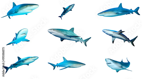 Collection Grey Reef Sharks isolated on white background
