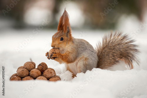 Fototapeta The squirrel stands with nut in paws on the snow in front of a pile of nuts