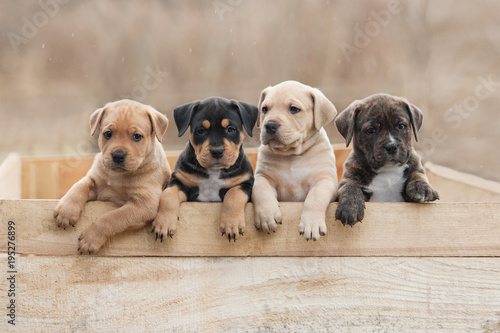 Canvas Print American staffordshire terrier puppies sitting in a box