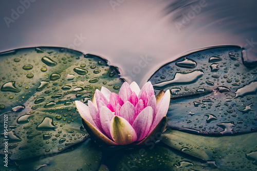Beautiful pink coloured water lily flower growing in a pond or lake Fototapeta