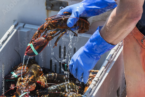 Fototapeta Water dripping off of a live lobster being held