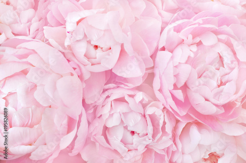Stampa su Tela Summer blossoming delicate peony frame, blooming peonies flowers festive backgro