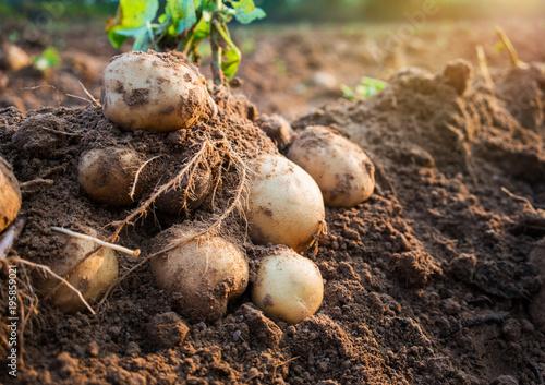 Fotografia potatoes in the field