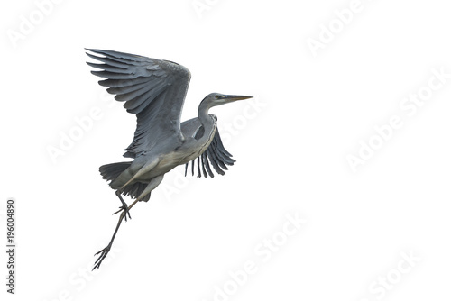 Fotografie, Tablou Grey heron flying isolated on white background