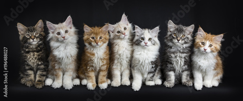 Fotografie, Obraz Row of seven maine coon cats / kittens sitting / laying down looking straight in