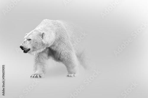polar bear walking out of the shadow into the light digital wildlife art white e Fototapet