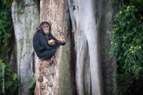Cuadros en Lienzo Young chimpanzee sits on a tree after picking up food in the Ngamba Island Chimp
