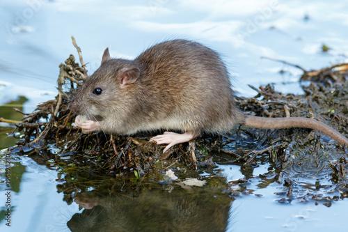 Rattus norvegicus, Brown Rat