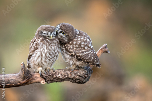 Canvas Print Two little owls (Athene noctua) sitting in pairs on a stick