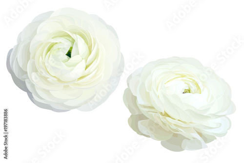 Canvas Print 2 white ranunculus