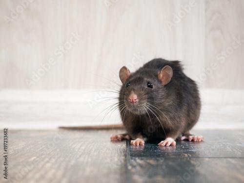 Obraz na płótnie Rat in the house on the floor