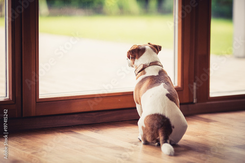Photo A Jack Russell Terrier, looking out through the window
