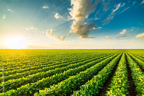 Photo Green ripening soybean field, agricultural landscape