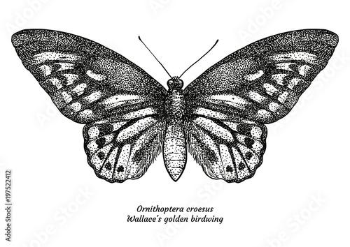 Obraz na płótnie Ornithoptera croesus, Walalce's, golden birdwing, illustration, drawing,   eng