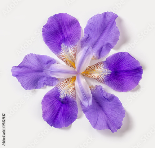 beautiful trendy abstract fantastic lilac iris flowers on white background, close up, flat lay