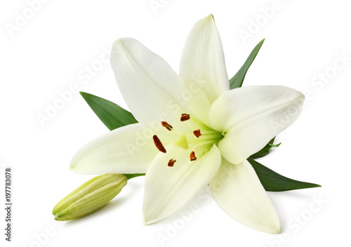 Carta da parati Beautiful white Lily (Seerose) with bud isolated on white background, including clipping path without shade