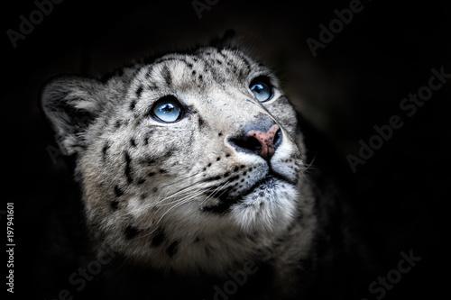 Fototapeta premium Portret twarzy lamparta śnieżnego - Irbis (Panthera uncia)