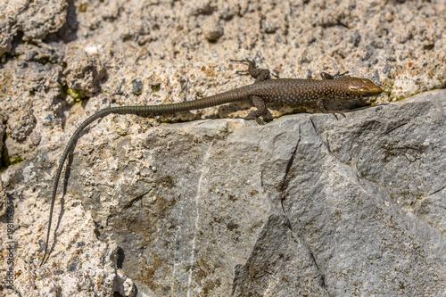Greek rock lizard on stone wall