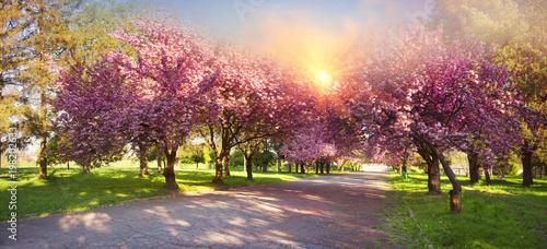 Ukrainian Sakura in the Carpathians
