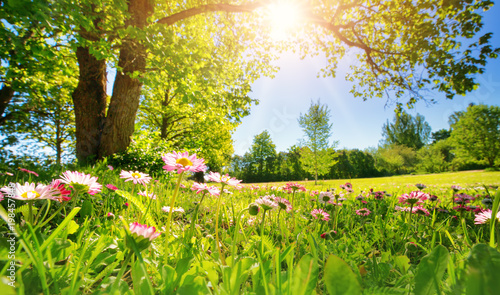 Meadow with lots of white and pink spring daisy flowers in sunny day. Nature landscape in estonia in early summer